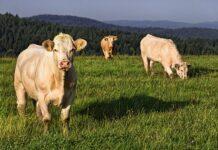 ile kosztuje krowa